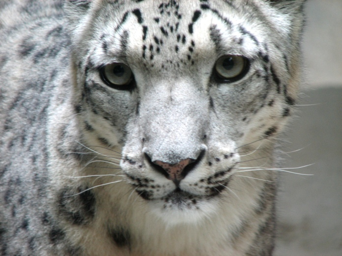 Snow_leopard_face